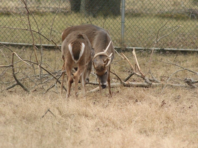 two whitetail deer fighting
